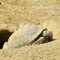 SOS Sulcata pour la Protection des tortues Sulcata