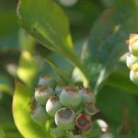 Smith Creek Blueberry Farm