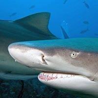 shark@diving