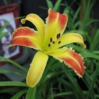 Woodcrest Daylilies LLC