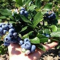 Whitehead's Blueberry Farm