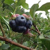 Backwoods Blueberries