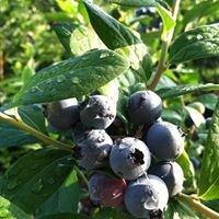 Abshier Blueberry Farm