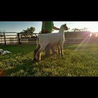 Houghtaling Sheep