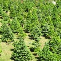 Boat Harbour Farm Nanaimo - Christmas Trees