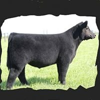 Gray Show Cattle