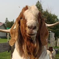 Aspen Acres Boer Goats