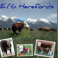 E/6 Miniature Hereford Ranch