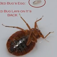 Toronto Bed Bug .ca