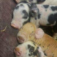 Sugar Ridge Ranch / Shropshire Sheep,  Pastured Pork & Show Pigs