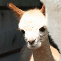 Humming Valley Alpacas