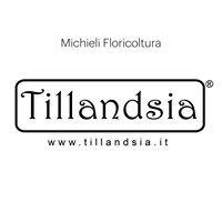 Tillandsia Michieli