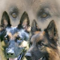 SV Dogs