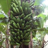 Banana 7B Vale do Riberira SP