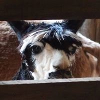 Old Cedar Knoll Alpacas