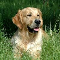 Rayleas Golden Retrievers