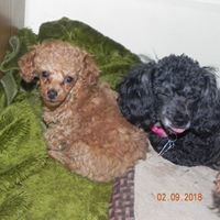 Toy Poodle Paws