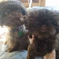 AKC liver brown shih tzu Puppies Breeder Cecilia Holland