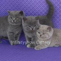 Infinityshowcattery ฟาร์มแมว British-Scottish สายเลือดแชมป์