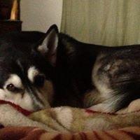 Tate Siberian Husky Consultant- Former Rescue