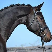 Tzigane - Trakehner Stallion