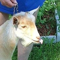Mathiot's Paradise Nigerian Dwarf Goats