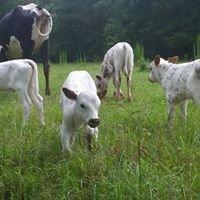 Stewart Farms Longhorns