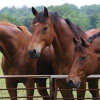Box T Performance Horses