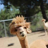 Kickback Alpacas