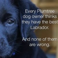 Plumtree Labradors