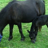 Fiesta Acres Miniature Horses