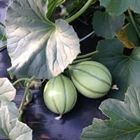 Vente de légumes à la ferme- Kerhillio