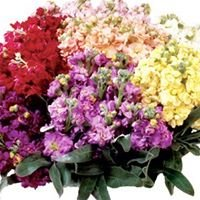 McCallum Sauber Wholesale Florist