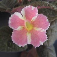 Caribbean Basin African Violet & Gesneriad Society