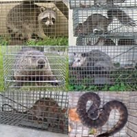Big Cypress Critter Removal Company Call:305-417-1239