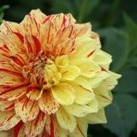 Canaan Valley Dahlias
