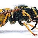 Kent Pest Control  Wasp Nests £48.50