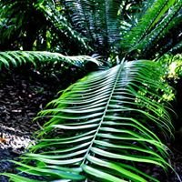 Ron's Rare Palms and Cycads