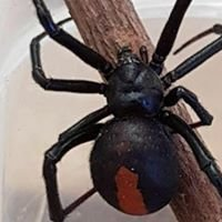 Redback Pest Solutions