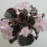 Bergen County African Violet Society