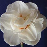 Mercervale Daffodils & Nursery