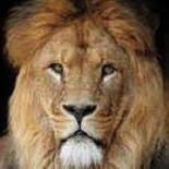 Social Media Lion