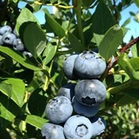 Blueberry Hill Berries