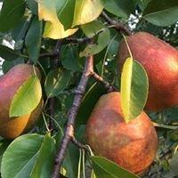 Pick a Pear