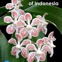 Native Orchids of Indonesia