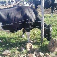 Cow Soko