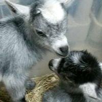 Bar-Jon Dairy Goats