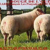 Earl françois bélier brebis mouton rouge de l'ouest Ovine race sheep berger