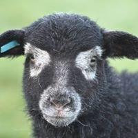 Herdwick Sheep - Westerplas Flock