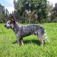 Australian Cattle Dog México